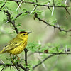 Yellow warbler (Dendroica petechia)