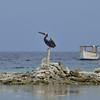 Brown pelican (Pelecanus occidentalis) perched on coral stones at Baranca Sunu