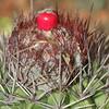 Pope's head cactus (Melocactus intortus)