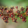 Pilocarpus goudotianus