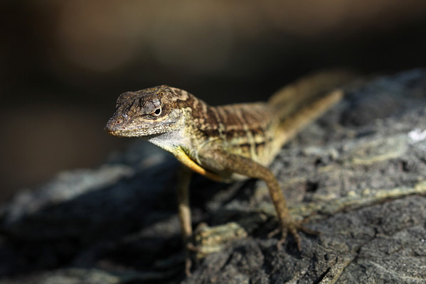 Striped anole (Anolis lineatus)