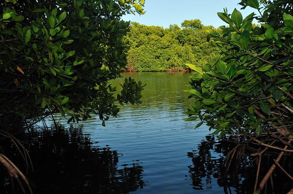 Red mangove (Rhizophora mangle) at Spanish Lagoon
