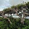 Divi Divi (Caesalpinia coriaria) at Cero Arikok Hill, Parke Nacional Arikok