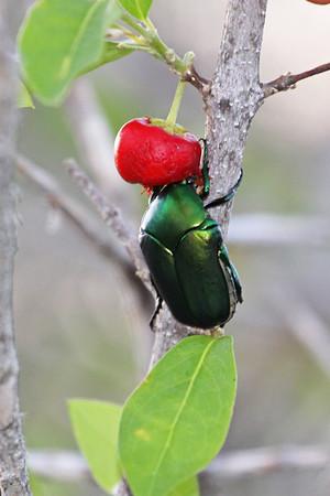 Green beetle eating the fruit of a West Indian cherry tree (Malpighia emarginata)