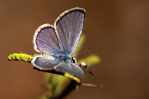 Great blue butterfly (Hemiargus hanno)