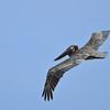 Brown pelican (Pelecanus occidentalis) flying at Baranca Sunu