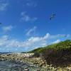 Sooty tern (Onychoprion fuscatus), Booby Island
