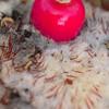 Turk's cap cactus (Melocactus sp.)