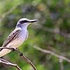 Grey kingbird (Tyrannus dominicensis)