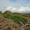Divi-divi (Caesalpinia coriaria) at Cero Arikok Hill, Parke Nacional Arikok