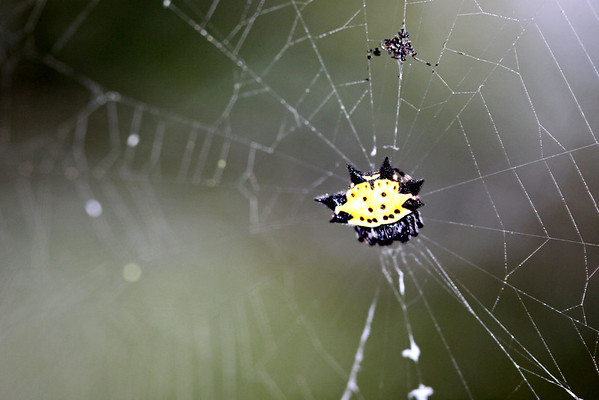 Spinybacked orb-weaver spider (Gasteracantha cancriformis)