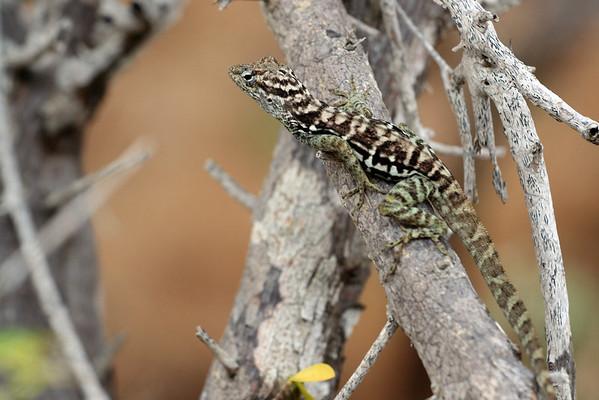 Striped anole (Anolis lineatus)