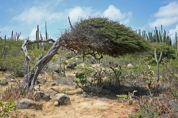 Divi-divi tree (Caesalpinia coriaria)