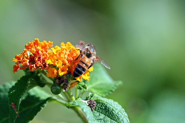 Bee on Lantana sp.