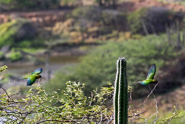 Brown-throated parakeets (Aratinga pertinax)