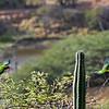 Brown-throated parakeets (Aratinga pertinax)