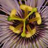 Passion flower (Passiflora foetida), Parke Nacional Arikok