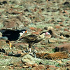 Crested caracara (Polyborus plancus), adult and juvenile