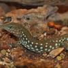 Aruban whiptail lizard (Cnemidophorus arubensis)
