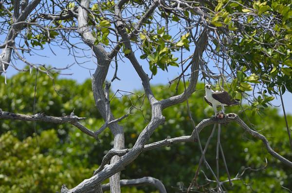 Osprey (Pandion haliaetus) perched in a tree on Aruba's southern coast