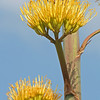 Century plant (Agave americana) in bloom