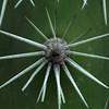 Candle cactus (Stenocereus griseus), Arikok National Park