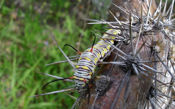 Monarch butterfly (Danaus plexippus) caterpillar