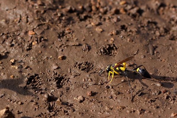 Wasp on mud