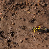 Wasp on mud