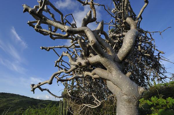 Gum tree (Bursera sp., probably B. bonairensis)