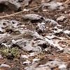Aruba whiptail lizard (Cnemidophorus arubensis), juvenile