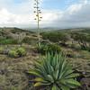 Century plant (Agave vivipara) on Cero Arikok Hill, Parke Nacional Arikok