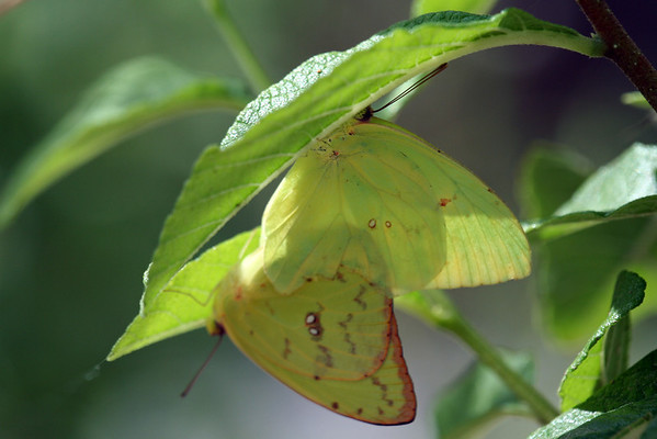 Green butterflies on leaf