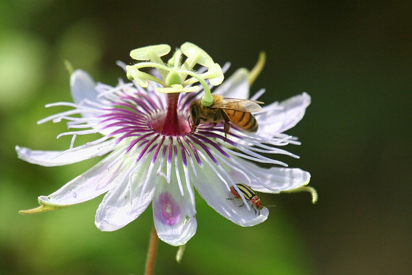 Bee collecting nectar of passion flower (Passiflora foetida)