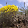Kibrahacha tree (Tabebuia billbergii)