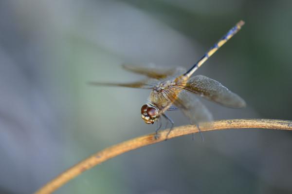 Dragonfly (Brachymesia herbida), Parke Nacional Arikok