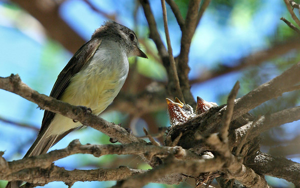 Caribbean elaenia (Elaenia martinica) nest with chicks