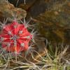 Candle cactus (Stenocereus griseus)
