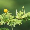 Twisted acacia (Acacia tortuosa)