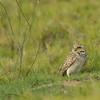 Aruban burrowing owl (Athene cunicularia arubensis)