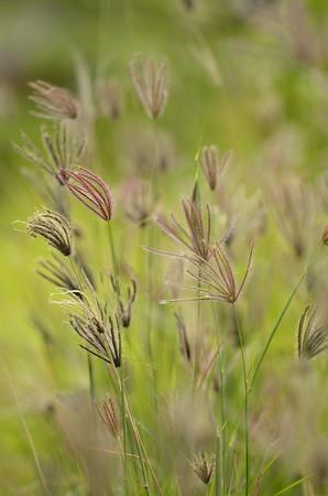 Swollen windmill grass (Chloris barbata)