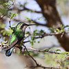 Blue-tailed emerald (Chlorostilbon mellisugus), adult