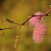 Pink flowers at Miralamar, Parke Nacional Arikok