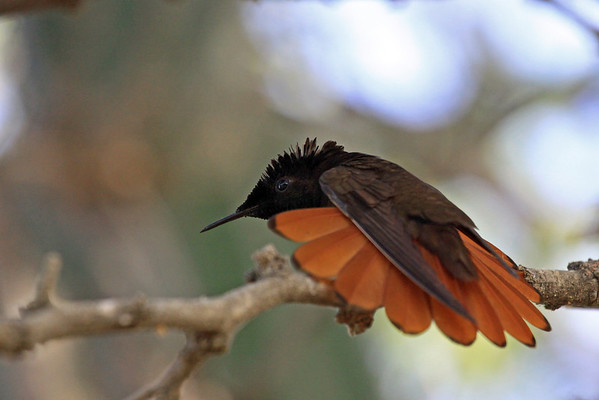 Ruby-topaz hummingbird (Chrysolampis mosquitus)