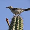 Tropical mockingbird (Mimus gilvus)