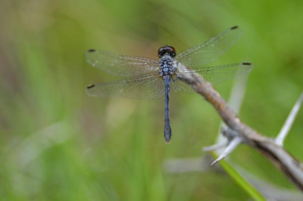 Dragonfly (Oligoclada sp.) male, Parke Nacional Arikok