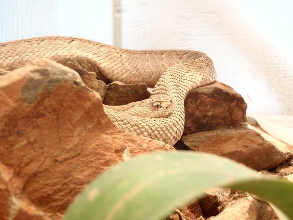 Aruba Island Rattlesnake (Crotalus unicolor) at the Arikok National Park Visitor Center