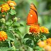 Flambeau butterfly (Dryas iulia)