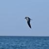 Laughing gull (Leucophaeus atricilla) off Palm Beach's coast