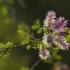 Catclaw brier or sensitive brier (Mimosa nuttallii)